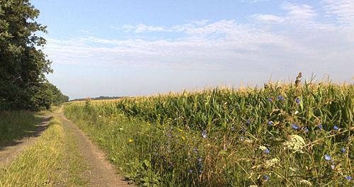 Laufen vorbei am Maisfeld bei Diedersdorf
