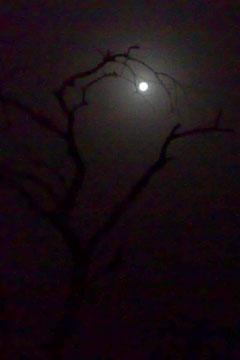 Baum vor Vollmond