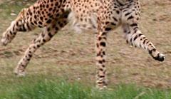 Laufender Gepard