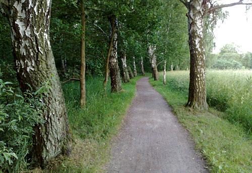 Barlachweg mit Birken