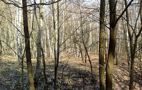 Wald mit Birken am Königsgraben