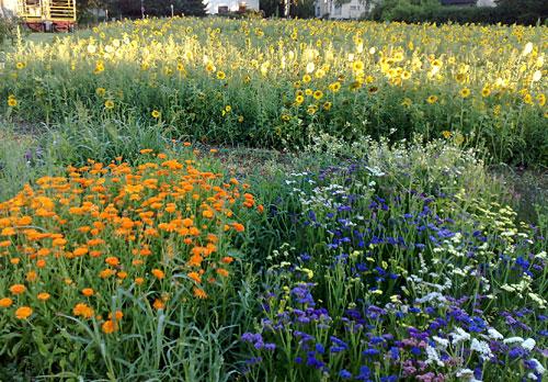 Sonnenblumen-Feld mit blühenden Blumen im Vordergrund