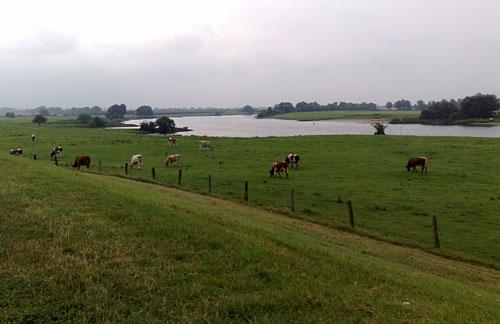 Blick vom Deich auf die Weser mit grasenden Kühen im Vordergrund