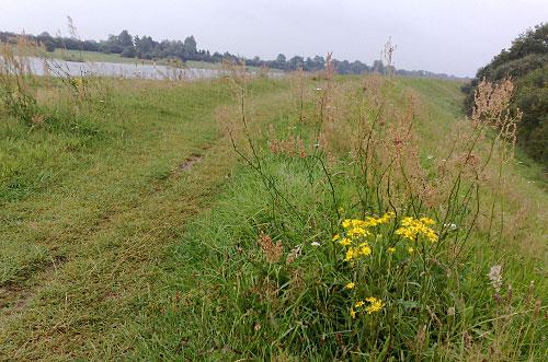 Deich mit Blume, im Hintergrund die Weser