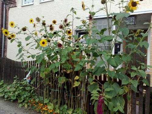 Sonnenblumen an einem Zaun
