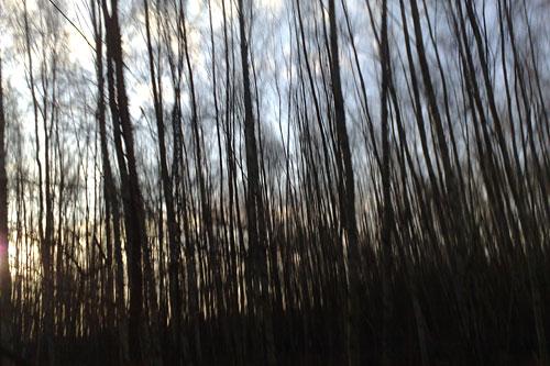 Birken im Gegenlicht