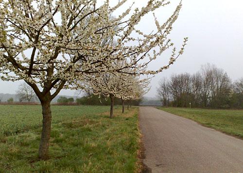 Blühende Bäume am Wegesrand