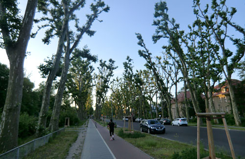 Bäume an der Puschkinallee