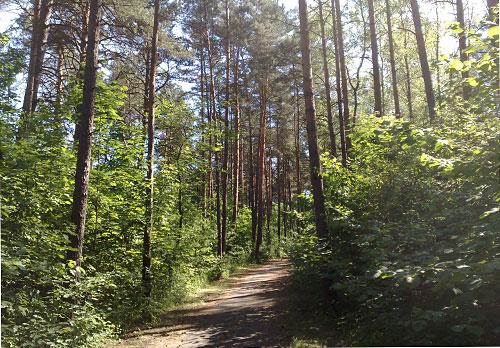 Lauf- und Radweg zwischen Kiefern