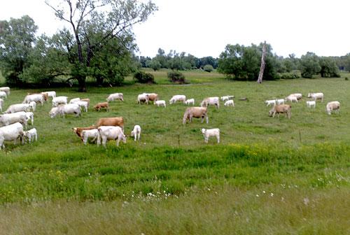 Kühe auf den Deichwiesen
