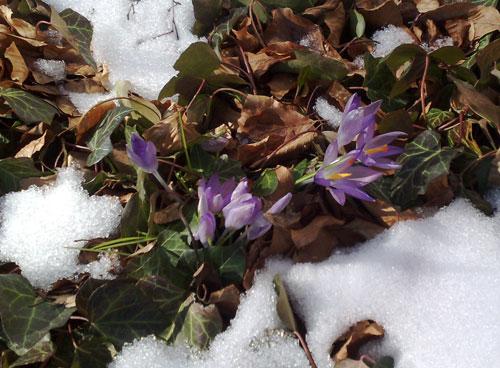 Eingeschneite Frühlingsboten