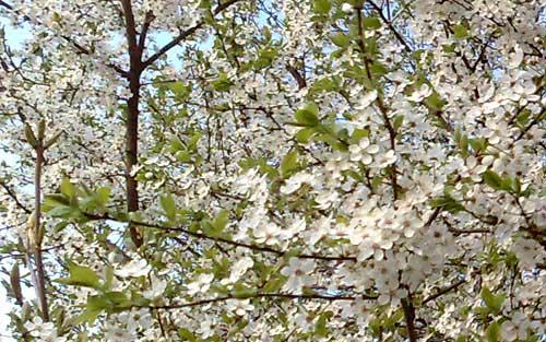 Blühende Bäume am Rand der Laufstrecke