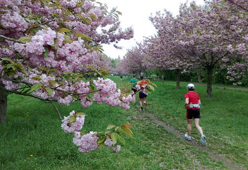 Laufen zwischen blühenden Kirschbäumen