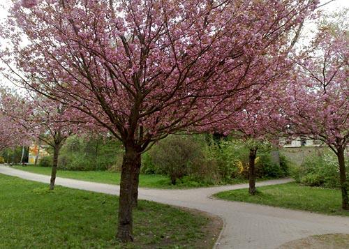 Laufen unter blühenden Bäumen