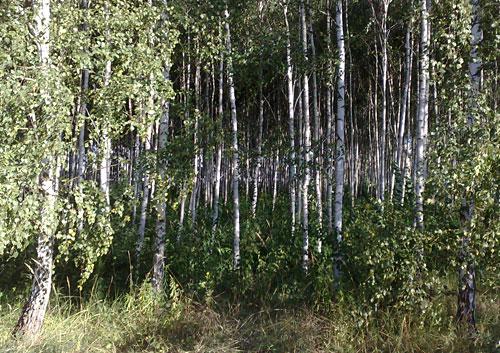 Wäldchen mit vielen eng stehenden Birken