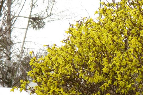 Blühende Forsythien Mitte März