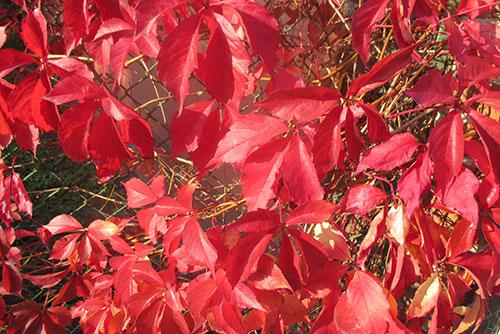 Herbstlich rot gefärbte Hecke