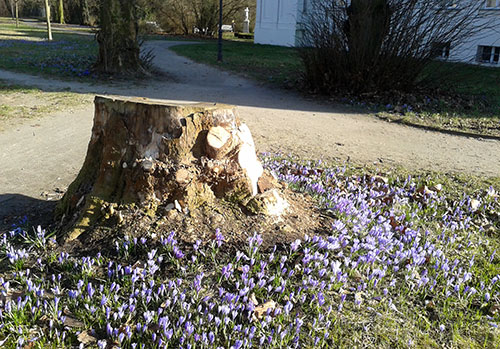 Krokusse im Gutspark Marienfelde