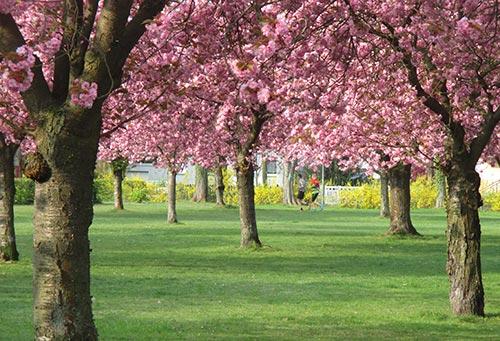 Laufen am Lilienthal-Denkmal zwischen blühenden Kirschbäumen