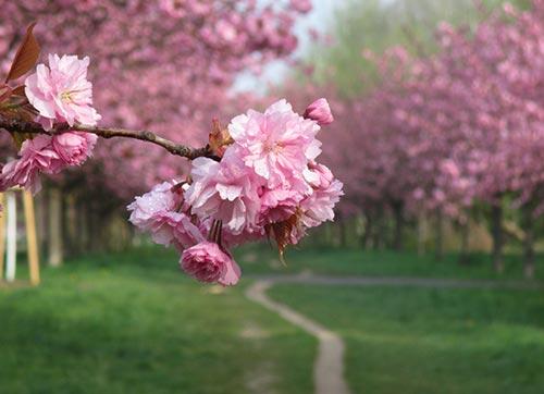 Kirschblüte auf dem Laufweg