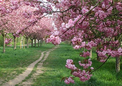 Laufweg zwischen blühenden Kirschbäumen am Berliner Mauerweg