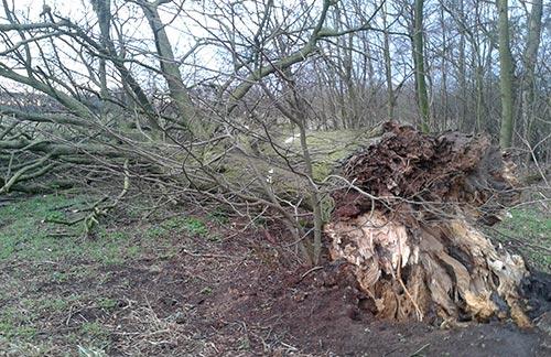Umgestürzter Baum mit Wurzelballen