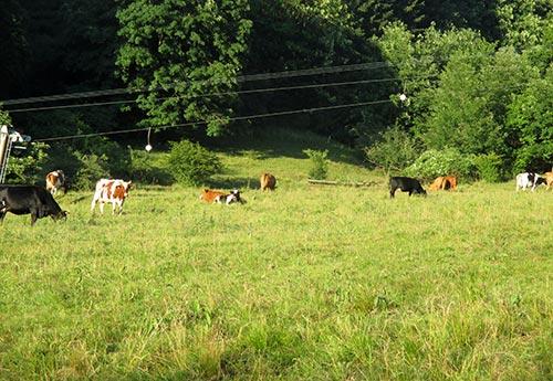 Kühe in Hohegeiß, Harz