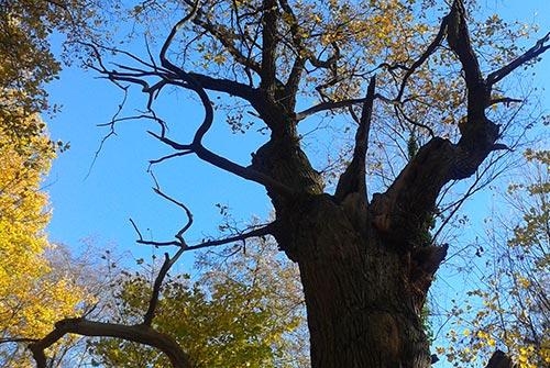 Die Dicke Marie, der älteste Baum Berlins