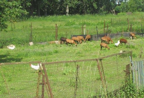 Hühner und Ziegen am Wegesrand