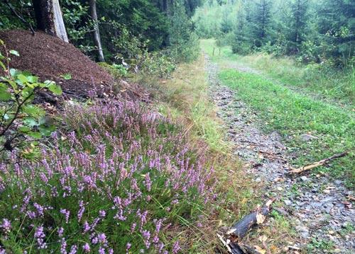 Waldweg mit Heidekraut und Ameisenhaufen