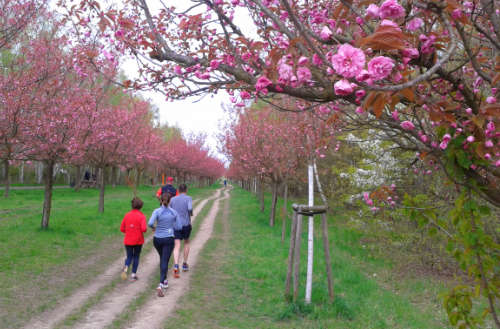Sakura, die Kirschblüte