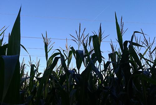 Der Mais steht hoch