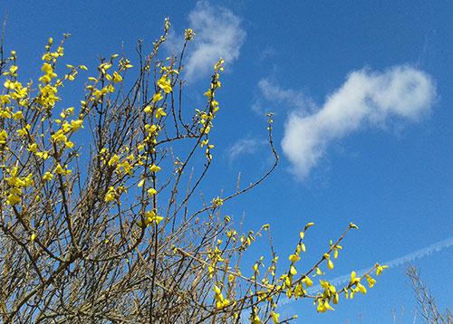 Blühende Forsythie vor blauem Himmel