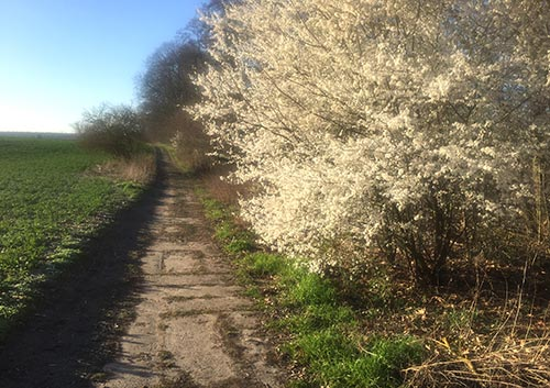 Weiß blühender Strauch am Pfad neben dem Feld
