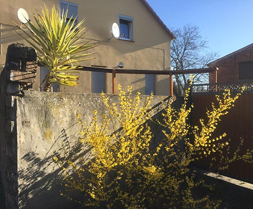 Yuccapalme und blühende Forsythie