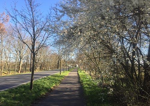Weiß blühende Sträucher auf dem Weg nach Heinersdorf