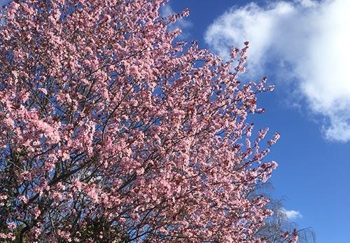 Rosa blühender Strauch vor blauem Himmel