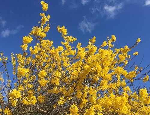 Gelb blühender Strauch vor blauem Himmel