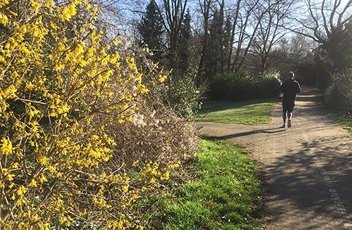 Läufer und gelb blühende Forsythien