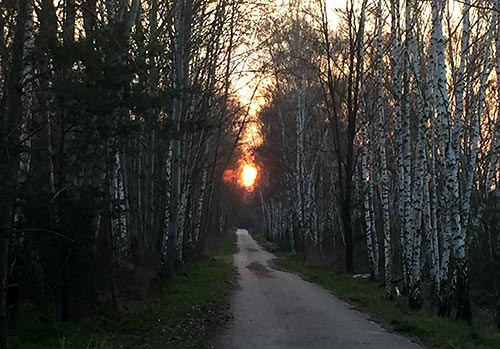 Rot leuchtende Sonne scheint zwischen Birken am Berliner Mauerweg