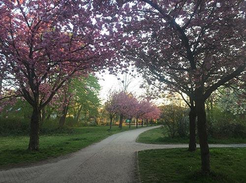 Kirschblüte im Park an der Heilandsweide