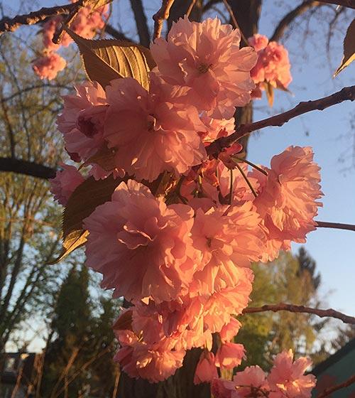 Kirschblüten in der Morgensonne