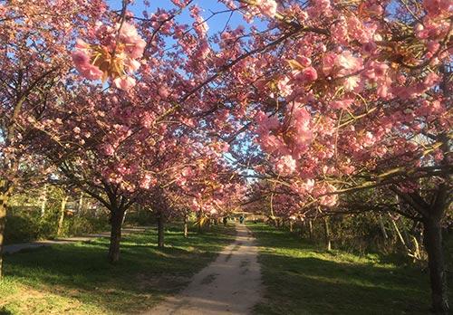 Blühende Kirschbäume der Kirschbaumallee am Berliner Mauerweg