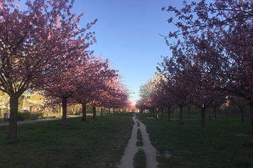 Blühende Kirschbäume der Kirschbaumallee bis zum Horizont