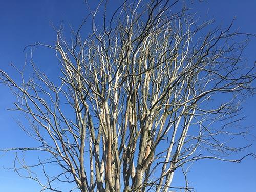 Noch unbelaubter Baum vor blauem Himmel