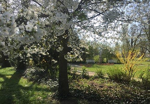 Weiß blühender Kirschbaum am Gutspark Marienfelde