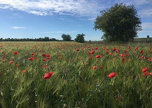 Feld mit Mohnblumen, im Hintergrund ein Läufer