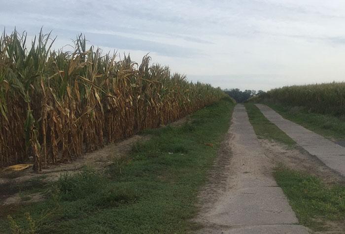 Plattenweg an einem Maisfeld