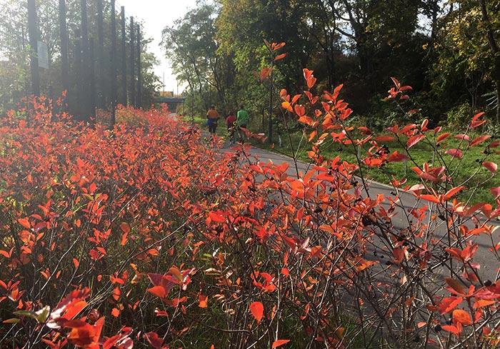 Strauch mit rotem Herbstlaub, im Hintergrund Läufer