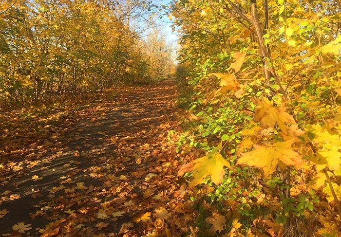 Von leuchtend goldgelben Sträuchern umstandener Weg bedeckt mit goldgelbem Herbstlaub